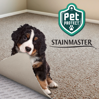 Small Dog Sitting on Carpet Near Dirty Paw Prints - Pet Protect cleans up easily